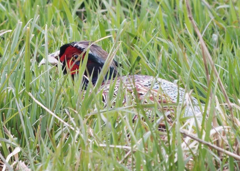 Joel Roane - Pheasant in Grass
