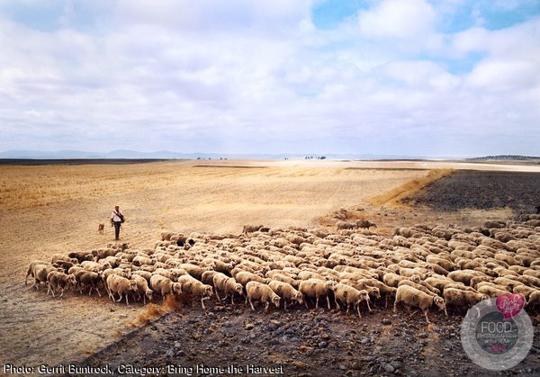 Shepherd Herding Sheep
