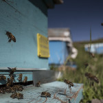 David Hagerman - Honey Bees
