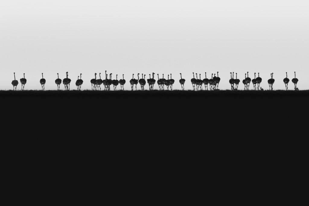 HC_Philip Field_Ostrich Horizon