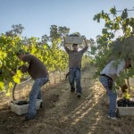 Robert Holmes - Harvest at Somerston Wine Co Napa California