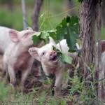 colin_hampden_white_piglets_in_vineyard