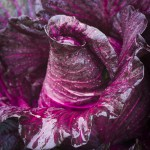 manuela_ruther_sweetheart_cabbage