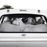 olaf_delharde_sheep_namibia