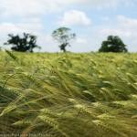 paul_steven_wheat_field