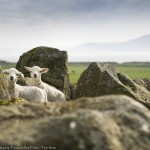 philip_field_spring_lambs