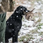 robin_stewart_retriever_with_pheasant