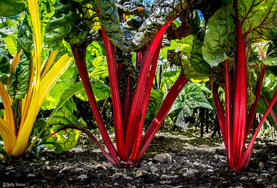 sally_ann_stone_swiss_chard_960px_credited